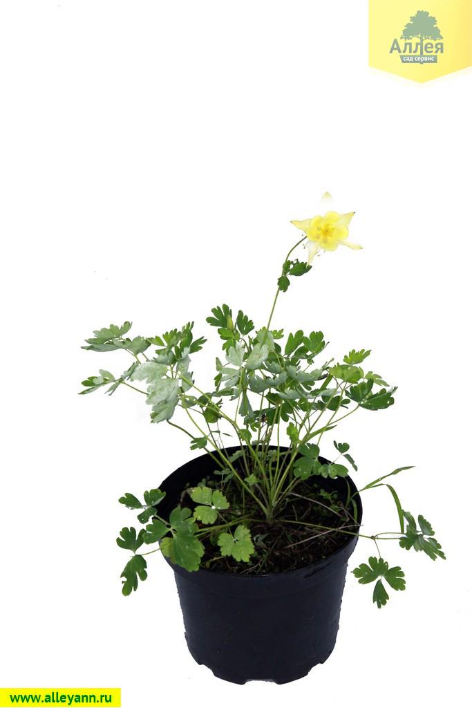 Купить многолетние цветы в нижнем новгороде