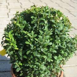 Самшит вечнозелёный (шаровидный) купить