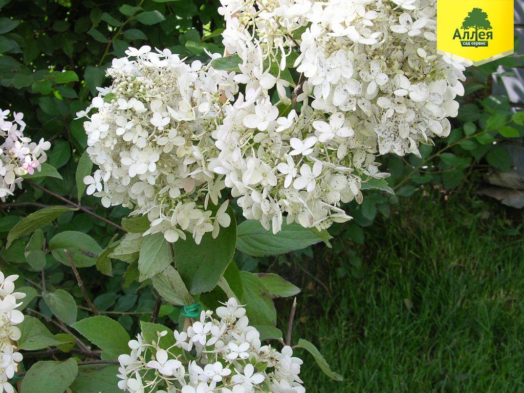 Гортензия метельчатая Грандифлора купить в Нижнем Новгороде