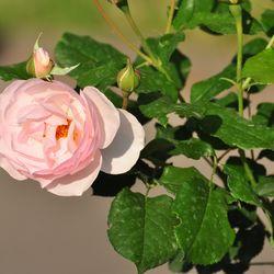 Роза английская душистая Хэритейдж купить