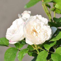 Роза английская душистая Винчестер Кафедрал купить
