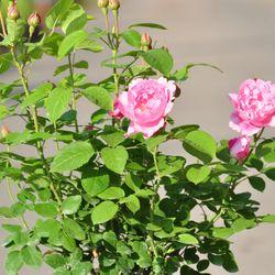 Роза английская душистая Мэри Роз купить